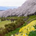 東北桜の名所として名高い秋田県角館町の桜スポット