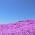 関東地方の芝桜でゴールデンウイークに開花するおすすめスポット3選