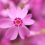 羊山公園の芝桜の見ごろとアクセス方法は?関東屈指の名所をご紹介
