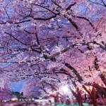 見ごたえたっぷり神奈川の夜桜おすすめスポット